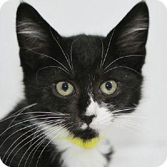 Domestic Shorthair Kitten for adoption in Salem, Massachusetts - Garret