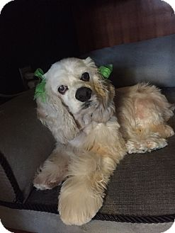 Cocker Spaniel Mix Dog for adoption in Burbank, California - Honor