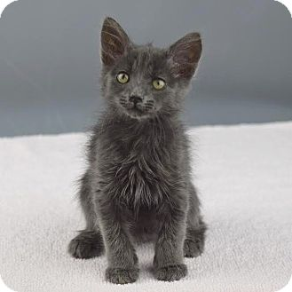 Domestic Shorthair Kitten for adoption in Columbia, Illinois - Norway