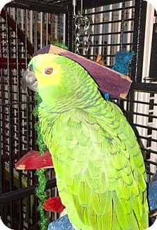 Amazon for adoption in Punta Gorda, Florida - Oscar