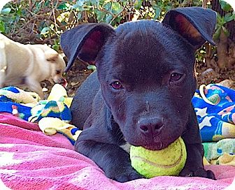 Pit Bull Terrier Mix Puppy for adoption in Pasadena, California - Snickers**New video**
