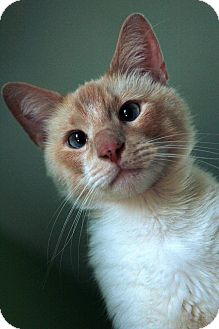 Siamese Cat for adoption in St. Louis, Missouri - Julian Casablancas