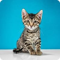 Adopt A Pet :: Ollie - Chandler, AZ