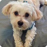 Adopt A Pet :: Maestro - ST LOUIS, MO