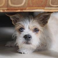 Adopt A Pet :: SUGAR - Hollywood, FL