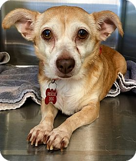 Dachshund/Chihuahua Mix Dog for adoption in Los Angeles, California - Makaela