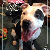 Adopt A Pet :: Adele - Vernon, CT