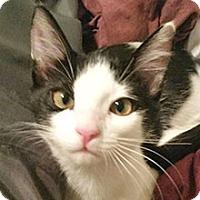 Domestic Shorthair Kitten for adoption in Phoenix, Arizona - Tipper
