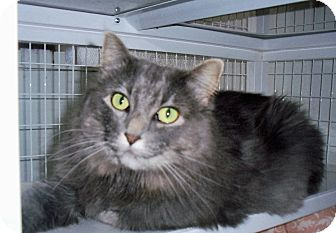 Domestic Longhair Cat for adoption in Gunnison, Colorado - Misty