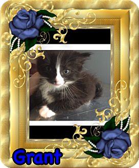 Domestic Mediumhair Kitten for adoption in Brentwood, New York - Grant