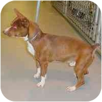 Terrier (Unknown Type, Small) Mix Dog for adoption in North Wilkesboro, North Carolina - Short & Proud!