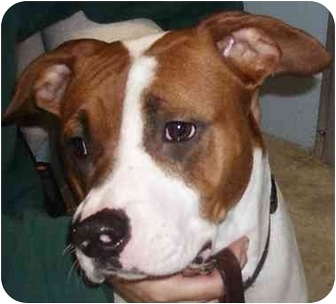 Pit Bull Terrier/Pointer Mix Dog for adoption in Battleground, Indiana - Layla