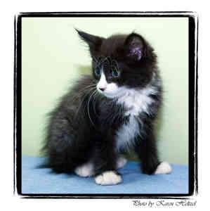 Domestic Longhair Kitten for adoption in Warren, Pennsylvania - Ike