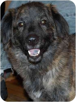 Collie/Shepherd (Unknown Type) Mix Dog for adoption in Raritan, New Jersey - Diego