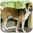 Photo 2 - Beagle/Shepherd (Unknown Type) Mix Dog for adoption in Boca Raton, Florida - Tyson