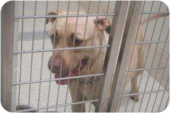 American Pit Bull Terrier Mix Dog for adoption in Romulus, Michigan - RED