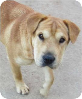 Shar Pei/Labrador Retriever Mix Dog for adoption in Poway, California - Lois