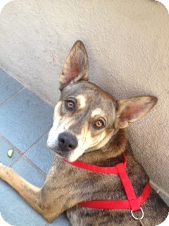 Australian Cattle Dog/Whippet Mix Dog for adoption in West Los Angeles, California - Penny (the exotic)