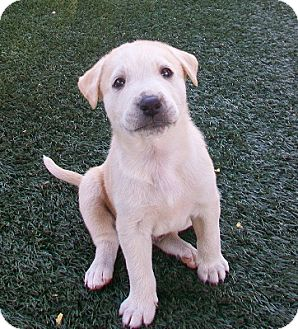 Shepherd (Unknown Type)/Collie Mix Puppy for adoption in Tustin, California - Marlin