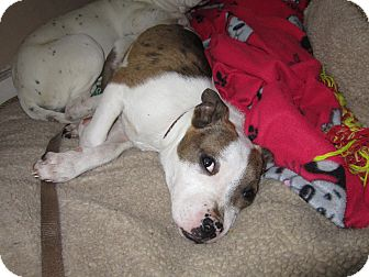 Bulldog/Terrier (Unknown Type, Small) Mix Puppy for adoption in Salem, Oregon - Abby