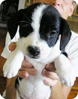 Border Collie/Cocker Spaniel Mix Puppy for adoption in Austin, Texas - Fitz