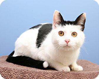 Domestic Shorthair Cat for adoption in Bellingham, Washington - Elvira