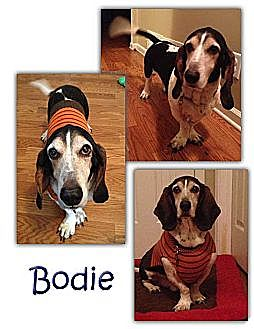 Basset Hound Dog for adoption in Marietta, Georgia - Bodie