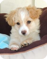 Cockapoo/Sheltie, Shetland Sheepdog Mix Puppy for adoption in La Habra Heights, California - Clyde