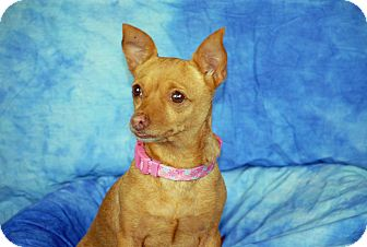 Chihuahua/Dachshund Mix Dog for adoption in Ft. Myers, Florida - Gizzie