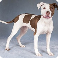 Adopt A Pet :: Clover - Chicago, IL