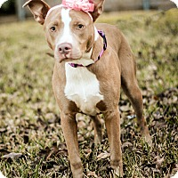 Adopt A Pet :: Lilly - Arlington, TX
