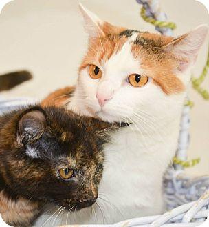 Calico Cat for adoption in Lincoln, Nebraska - CALLIE