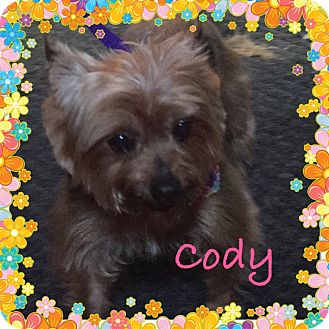 Silky Terrier/Yorkie, Yorkshire Terrier Mix Dog for adoption in Fishkill, New York - CODY
