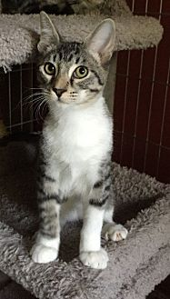 Domestic Shorthair Cat for adoption in Sacramento, California - Jax