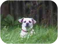 Pug/Terrier (Unknown Type, Small) Mix Dog for adoption in CLEVELAND/AKRON, Ohio - MOLLY