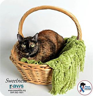 Domestic Mediumhair Cat for adoption in Belle Chasse, Louisiana - Sweetness