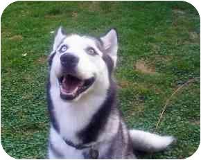Siberian Husky Dog for adoption in Horsham, Pennsylvania - Twizzler
