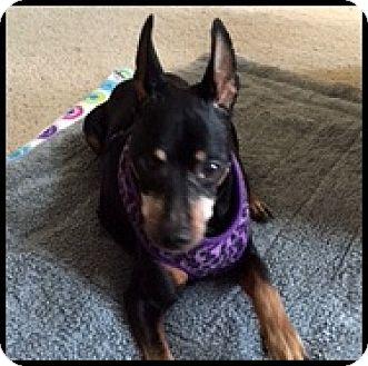 Manchester Terrier Mix Dog for adoption in Colorado Springs, Colorado - Rowdy
