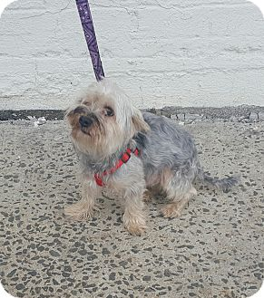 Silky Terrier/Yorkie, Yorkshire Terrier Mix Dog for adoption in Bronx, New York - Max