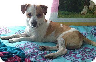 Jack Russell Terrier Dog for adoption in Austin, Texas - Charlie in San Antonio
