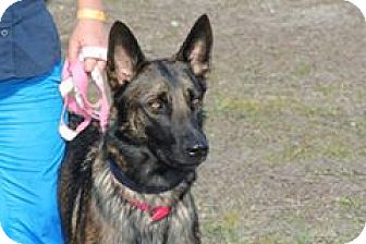 Belgian Malinois/German Shepherd Dog Mix Dog for adoption in Cape Coral, Florida - Hazel(read full bio)