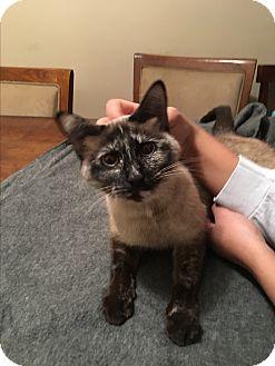 Siamese Cat for adoption in Berkley, Michigan - Zara