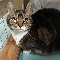 Domestic Shorthair Cat for adoption in Plainville, Connecticut - Maddie