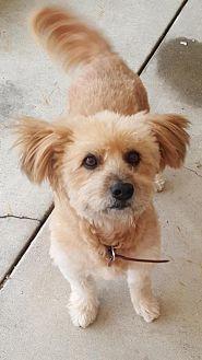 Terrier (Unknown Type, Medium)/Bichon Frise Mix Dog for adoption in Rancho Santa Margarita, California - ZZ-Cereal *courtesy post