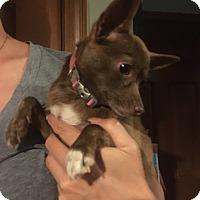 Adopt A Pet :: Sweetie:adoption pending - Astoria, NY