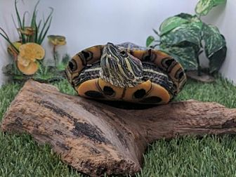 Turtle - Other for adoption in Pefferlaw, Ontario - Sally