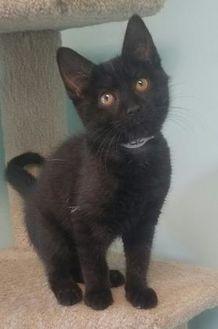 Domestic Shorthair/Domestic Shorthair Mix Cat for adoption in Seneca, Pennsylvania - Spock
