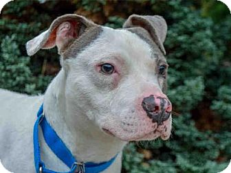 Pit Bull Terrier Mix Dog for adoption in Pittsburgh, Pennsylvania - MANNY