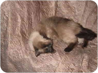 Ragdoll Cat for adoption in Seattle, Washington - Maximus