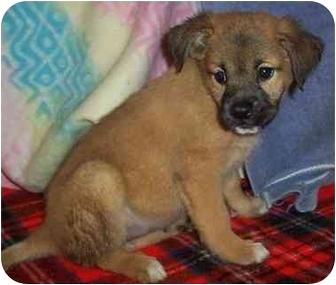 Golden Retriever/Chow Chow Mix Puppy for adoption in Kansas City, Missouri - Sapphire